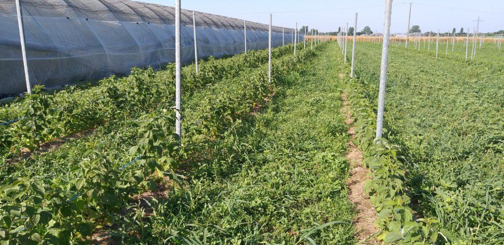 Pflanzgutvergleich Sorte 'Amira': Traypflanzung Anfang April, Anfang Mai und Grünpflanzen von Mitte Mai (Aufgenommen am 24.07.2019)